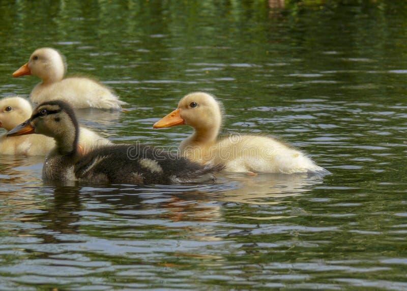 Κίτρινοι και καφετιοί νεοσσοί πρασινολαιμών, νεοσσοί που κολυμπούν σε μια πράσινη λίμνη στοκ φωτογραφία