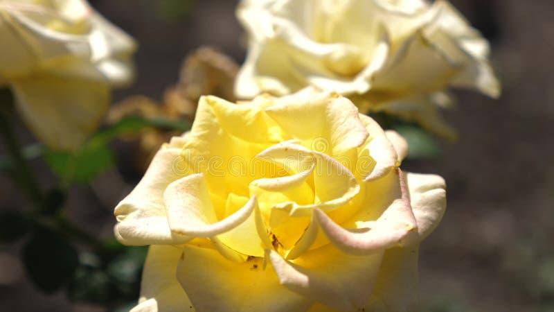 Κίτρινος αυξήθηκε ανθίσεις το καλοκαίρι στον κήπο Κινηματογράφηση σε πρώτο πλάνο Επιχείρηση λουλουδιών Όμορφη άνθιση λουλουδιών τ στοκ φωτογραφία με δικαίωμα ελεύθερης χρήσης