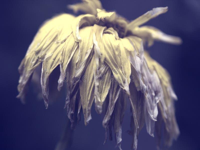 Κίτρινος βλάστησε λουλούδι στο πορφυρό φοβιτσιάρες υπόβαθρο στοκ εικόνα