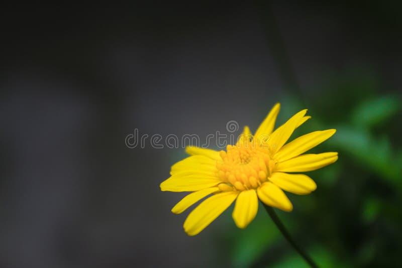 Κίτρινο λουλούδι του κήπου μου στοκ φωτογραφίες