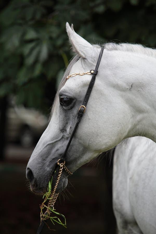 Καθαρής φυλής αραβικό άλογο, πορτρέτο μιας γκρίζας φοράδας με το χαλινάρι κοσμήματος στοκ εικόνες