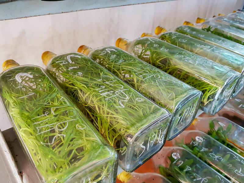 Καλλιέργειες ιστού ορχιδεών σε ένα μπουκάλι γυαλιού στοκ φωτογραφία