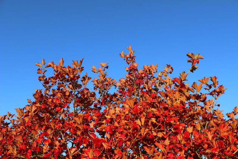 Καλλιεργημένος πυροβολισμός ενός δέντρου με τα κόκκινα φύλλα πέρα από το υπόβαθρο μπλε ουρανού στοκ εικόνα
