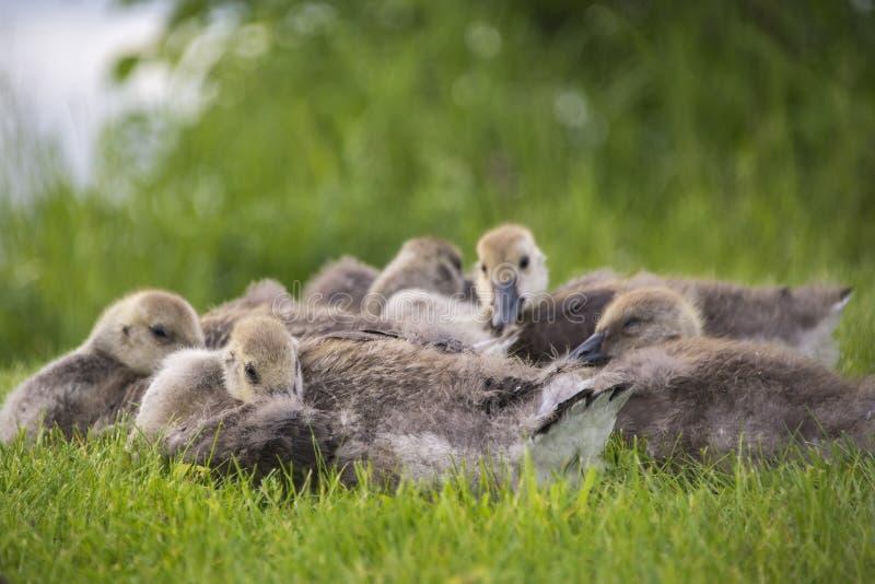 Καναδικές χήνες νεοσσών που στηρίζονται και που αγκαλιάζουν στοργικά στοκ φωτογραφία