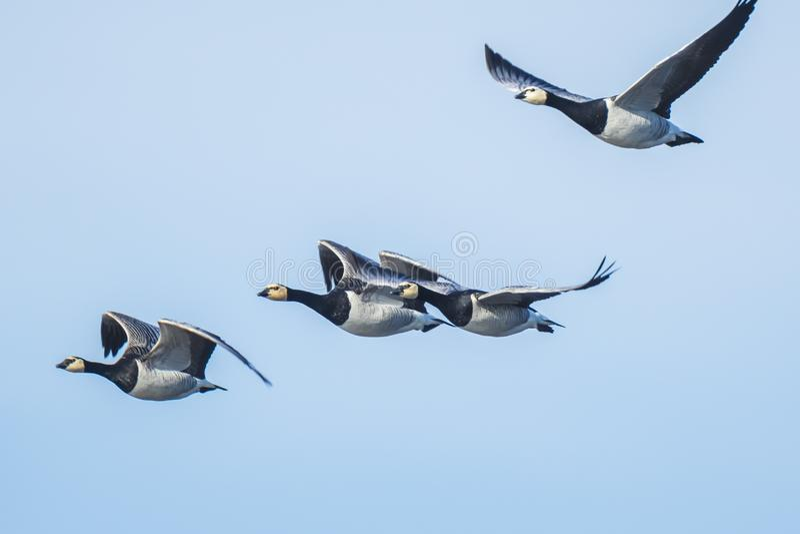 Καναδικό canadensis Branta χήνων που μεταναστεύει κατά την πτήση στοκ εικόνες