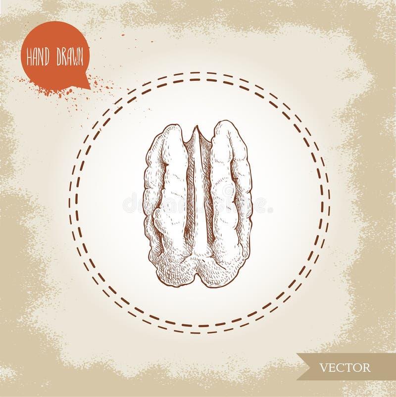 Καρύδι πεκάν Συρμένο χέρι μισό ύφους σκίτσων του πυρήνα σπόρου καρυδιών πεκάν Οργανική διανυσματική απεικόνιση πρόχειρων φαγητών διανυσματική απεικόνιση