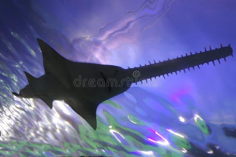 Καρχαρίας πριονιών που κολυμπά την υποβρύχια σκιαγραφία στοκ φωτογραφία