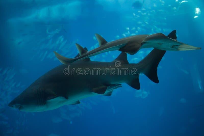 Καρχαρίας Carcharias taurus τιγρών άμμου στοκ φωτογραφία