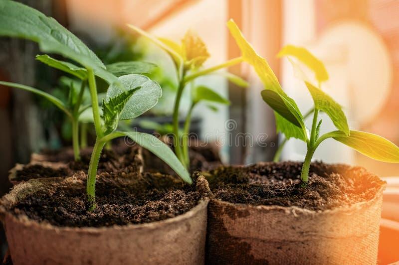 Κατάλληλα σπορόφυτα αγγουριών φύτευσης στον οικολογικό κήπο Ανάπτυξη των σποροφύτων για τον αστικό κήπο στο windowsill το καφετί  στοκ εικόνες