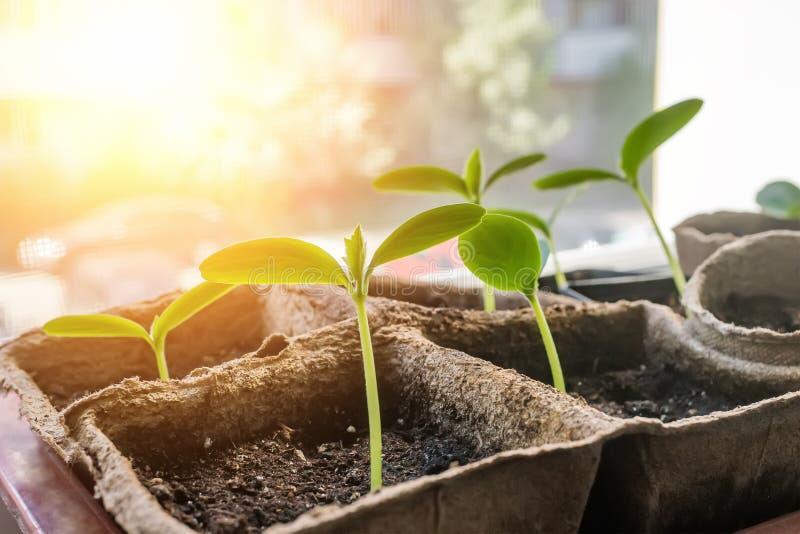 Κατάλληλα σπορόφυτα αγγουριών φύτευσης στον οικολογικό κήπο Ανάπτυξη των σποροφύτων για τον αστικό κήπο στο windowsill το καφετί  στοκ εικόνα