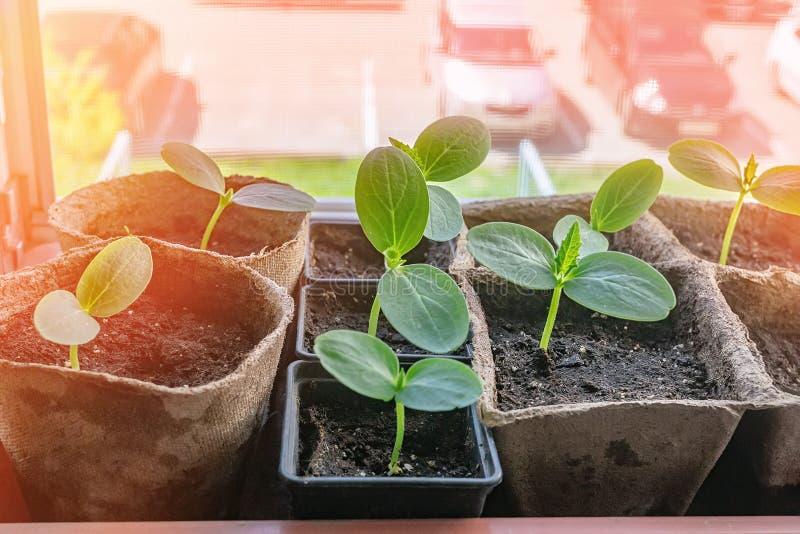 Κατάλληλα σπορόφυτα αγγουριών φύτευσης στον οικολογικό κήπο Ανάπτυξη των σποροφύτων για τον αστικό κήπο στο windowsill το καφετί  στοκ φωτογραφία με δικαίωμα ελεύθερης χρήσης