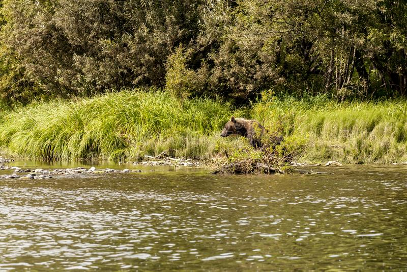Καφετής αντέξτε το beringianus arctos Ursus αλιεύοντας στον ποταμό Kamchatka, Ρωσία στοκ εικόνες με δικαίωμα ελεύθερης χρήσης
