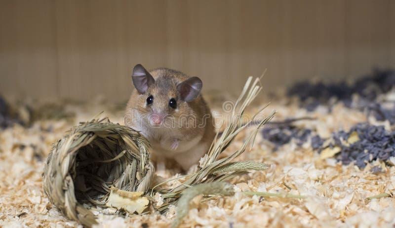 Καφετί ποντίκι στη φωλιά στοκ φωτογραφία με δικαίωμα ελεύθερης χρήσης