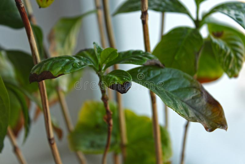 Καφετιά σημεία Arabica καφέ στα φύλλα στοκ εικόνες με δικαίωμα ελεύθερης χρήσης
