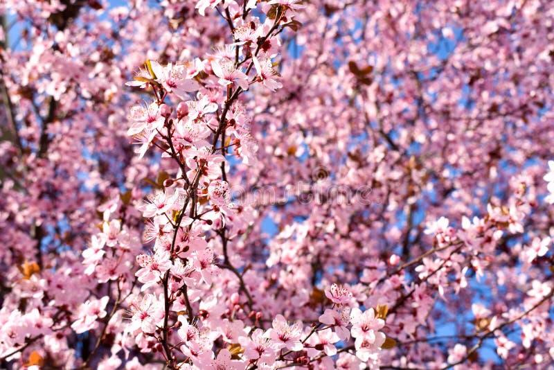 Κεράσι, άνθος κερασέων προυμνών με τα ρόδινα λουλούδια και μερικά κόκκινα φύλλα, δέντρο Prunus Cerasifera Pissardii σε ένα υπόβαθ στοκ εικόνες