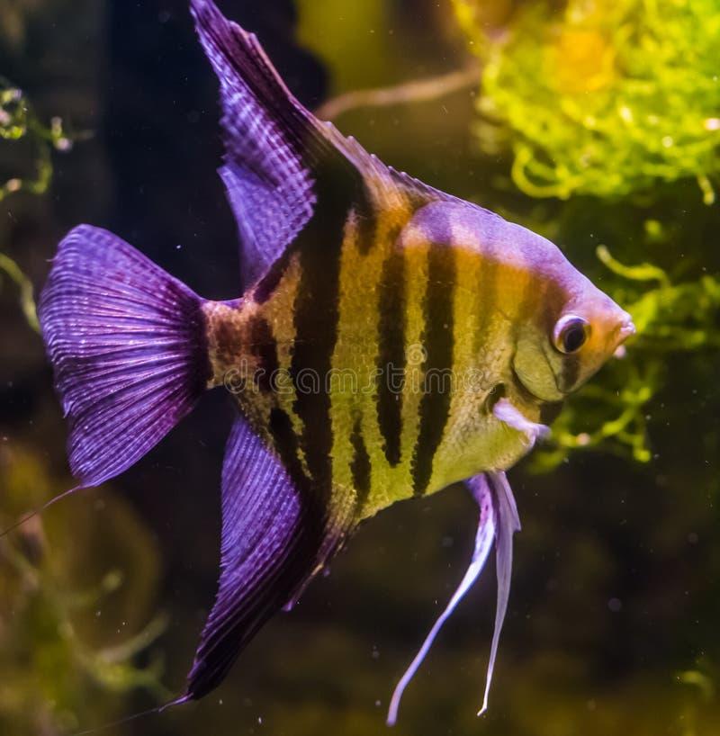 Κινηματογράφηση σε πρώτο πλάνο ενός του γλυκού νερού angelfish, ενός όμορφου και δημοφιλούς κατοικίδιου ζώου ενυδρείων, τροπικά ψ στοκ εικόνα
