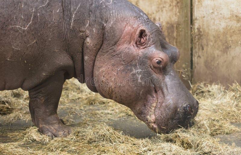 Κινηματογράφηση σε πρώτο πλάνο ενός hippo στοκ εικόνες