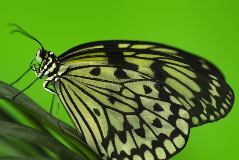 Κινηματογράφηση σε πρώτο πλάνο μιας συνεδρίασης πεταλούδων στο φύλλωμα στοκ φωτογραφία με δικαίωμα ελεύθερης χρήσης