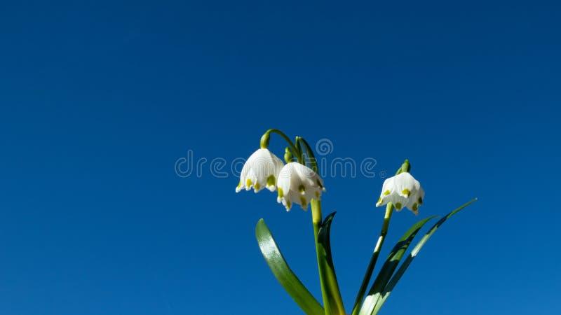 Κινηματογράφηση σε πρώτο πλάνο του vernum Leucojum ή snowflake άνοιξη μπροστά από το μπλε ουρανό στοκ εικόνες