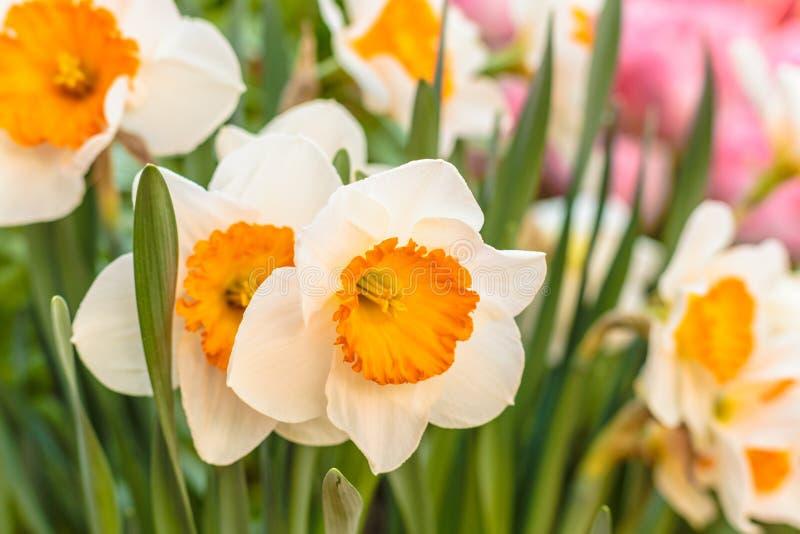 Κινηματογράφηση σε πρώτο πλάνο των όμορφων ναρκίσσων μακρινή τουλίπα άνοιξη εστίασης λουλουδιών ακρών ανασκόπησης Πράσινες εγκατα στοκ φωτογραφίες με δικαίωμα ελεύθερης χρήσης