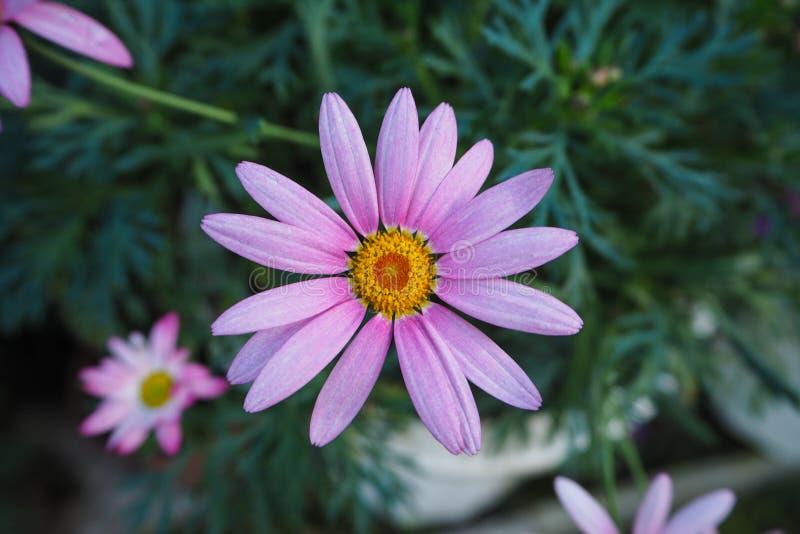 Κινηματογράφηση σε πρώτο πλάνο των πορφυρών λουλουδιών της Marguerite Daisy στοκ εικόνα με δικαίωμα ελεύθερης χρήσης
