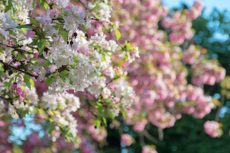 Κλάδοι του δέντρου κυδωνιών μήλων στο άνθος στοκ εικόνα με δικαίωμα ελεύθερης χρήσης