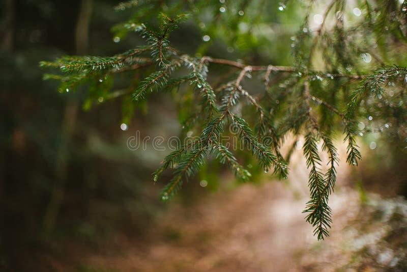 Κλάδος ενός δέντρου πεύκων με τις πτώσεις του νερού στοκ εικόνα