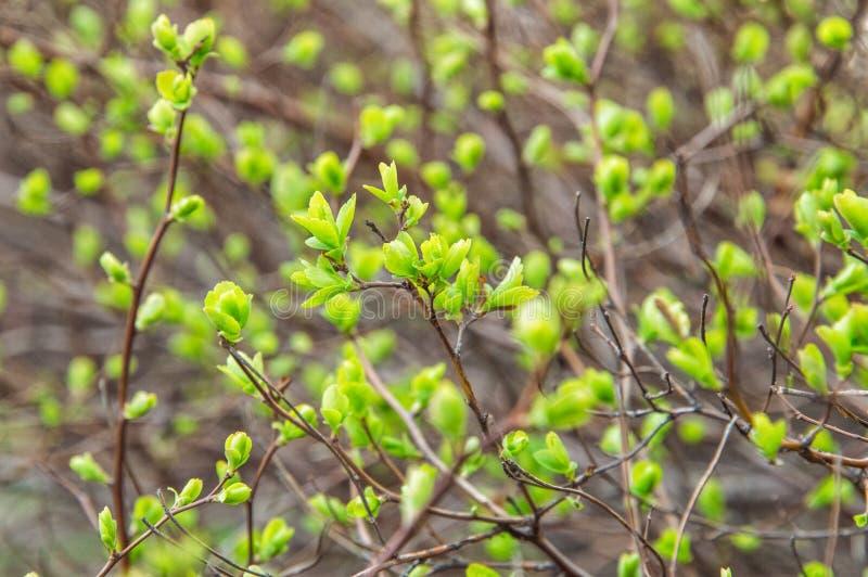κλείστε επάνω Άνοιξη apse ξυπνώντας φύση Κλαδάκια των θάμνων με τα λεπτά πράσινα φύλλα στοκ φωτογραφία με δικαίωμα ελεύθερης χρήσης