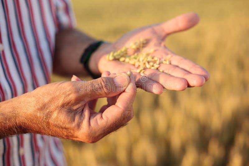 Κλείστε επάνω ενός ανώτερου γεωπόνου ή ενός αγρότη που εξετάζει τους σπόρους σίτου στο φοίνικά του στοκ εικόνες