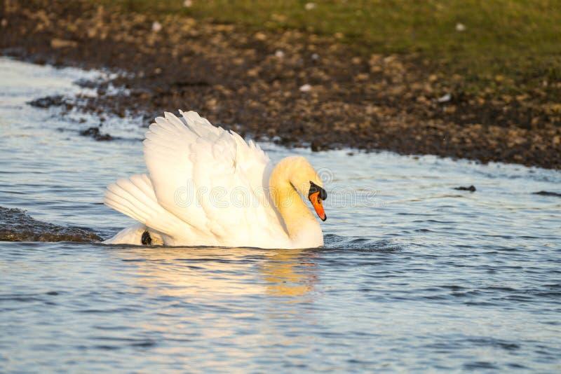 Κλείστε επάνω ενός βουβού olor αστερισμού του Κύκνου του Κύκνου στην απειλή θέτει την κολύμβηση πέρα από τη λίμνη με την ταχύτητα στοκ εικόνες με δικαίωμα ελεύθερης χρήσης