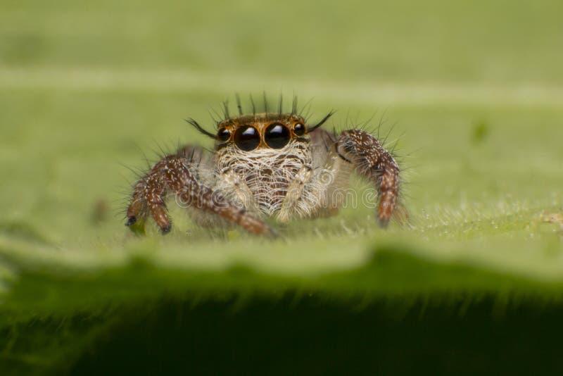Κλείστε επάνω του άλματος της αράχνης ζωηρόχρωμης στο πράσινο υπόβαθρο φυτών φύλλων φύσης στοκ φωτογραφίες