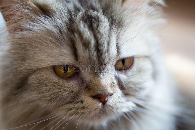Κλείστε επάνω το πορτρέτο μια γάτα Εκλεκτική εστίαση σε cat' μάτι του s στοκ φωτογραφίες