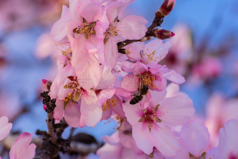 Κλείστε επάνω των ανθίζοντας αμυγδαλιών Όμορφο άνθος αμυγδάλων στους κλάδους Αμυγδαλιά άνοιξη και ρόδινα λουλούδια με τον κλάδο κ στοκ εικόνα