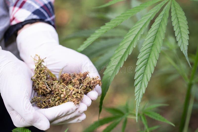 Κλείστε επάνω των χεριών κρατώντας την ξηρά ιατρική μαριχουάνα, εναλλακτική ιατρική, βοτανικές καννάβεις στοκ εικόνα με δικαίωμα ελεύθερης χρήσης