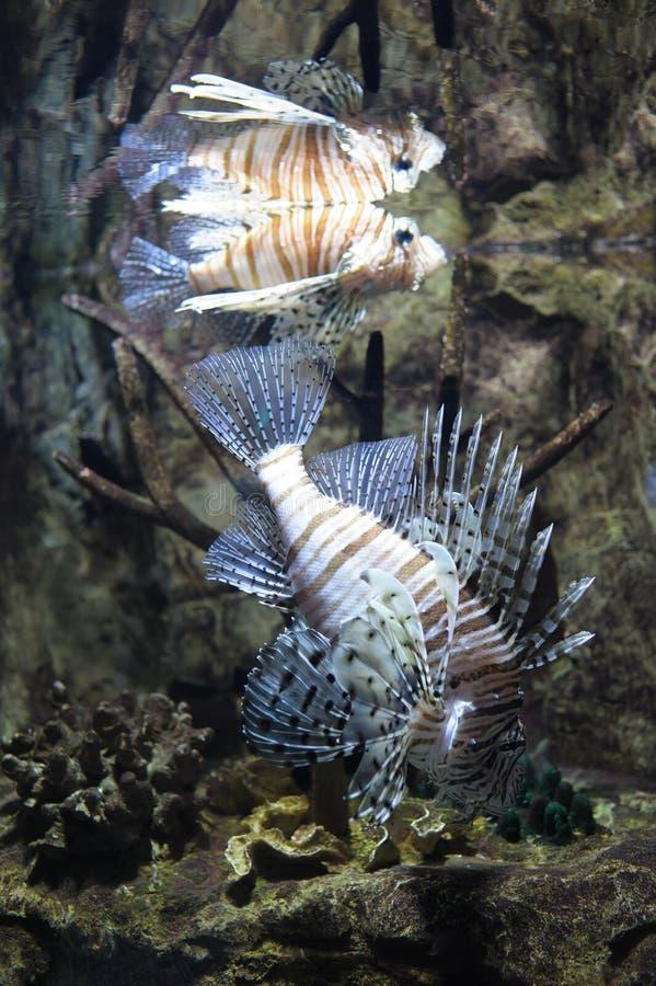 Κοινή κολύμβηση lionfish στοκ φωτογραφίες