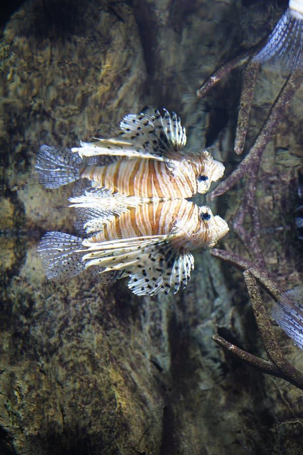 Κοινή κολύμβηση lionfish στοκ φωτογραφία με δικαίωμα ελεύθερης χρήσης