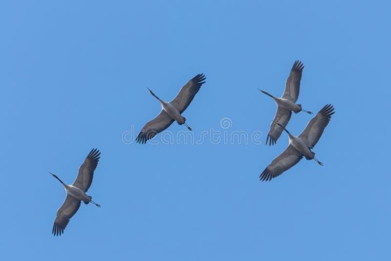 Κοινή μετανάστευση grus Grus μπλε ουρανών γερανών κατά την πτήση στοκ φωτογραφία