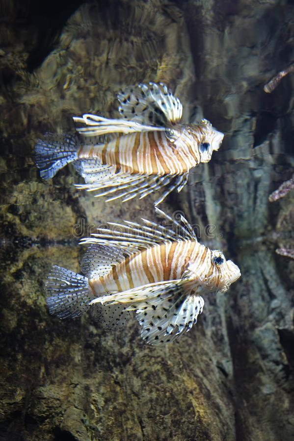 Κοινό lionfish που κολυμπά στο νερό στοκ εικόνες