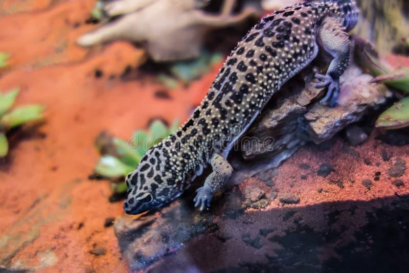 Κοινό macularius Eublepharis gecko λεοπαρδάλεων στοκ φωτογραφίες