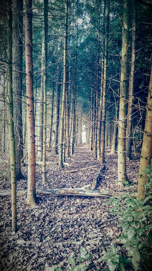 Κομμάτι του δάσους με τα δέντρα πεύκων στοκ εικόνες με δικαίωμα ελεύθερης χρήσης