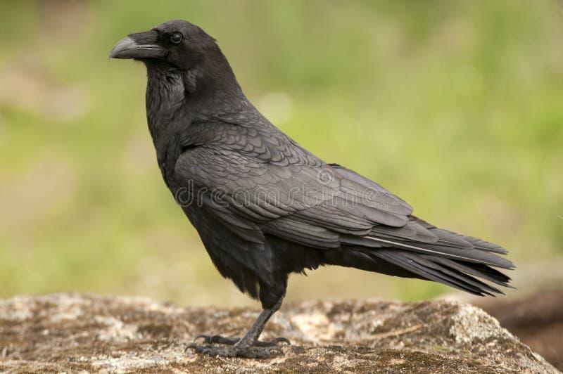 Κοράκι - Corvus corax, σώμα και φτέρωμα στοκ εικόνες