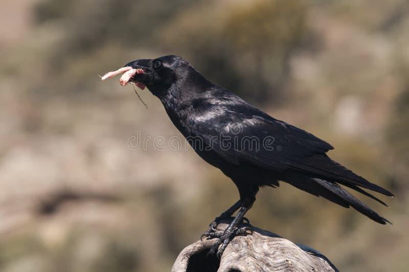 Κοράκι - Corvus corax, σώμα και φτέρωμα στοκ φωτογραφίες