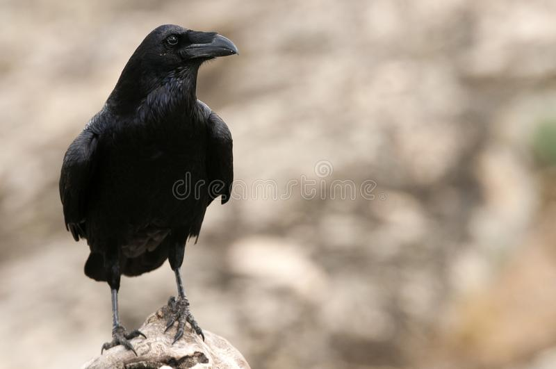 Κοράκι - Corvus corax, τ του σώματος και φτέρωμα στοκ φωτογραφίες