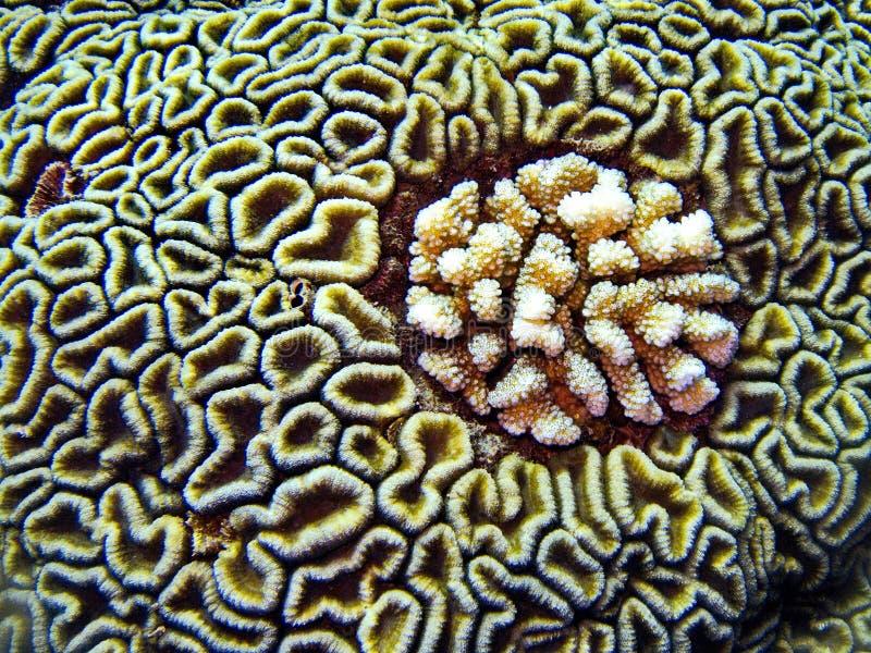 Κοράλλι εγκεφάλου, σκάφανδρο που βουτά στην Αίγυπτο στοκ φωτογραφίες με δικαίωμα ελεύθερης χρήσης