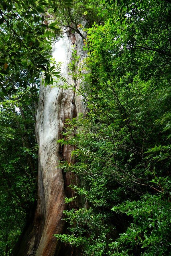 Κορμός ενός αρχαίου δέντρου στο αρχέγονο δάσος Yakushima, Ιαπωνία στοκ φωτογραφία