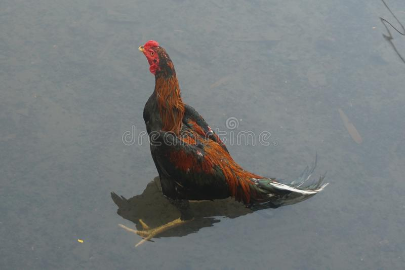 κοτόπουλο στο νερό στοκ φωτογραφίες με δικαίωμα ελεύθερης χρήσης