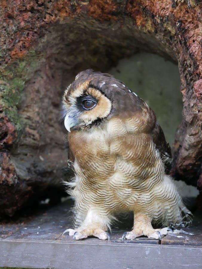 Κουκουβάγια, πάρκο πουλιών της Κουάλα Λουμπούρ στοκ εικόνα με δικαίωμα ελεύθερης χρήσης