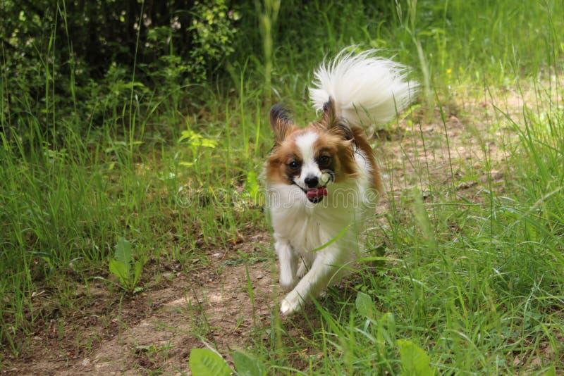 Κουτάβι σκυλιών στη χλόη που τρέχει προς τη κάμερα στοκ φωτογραφία