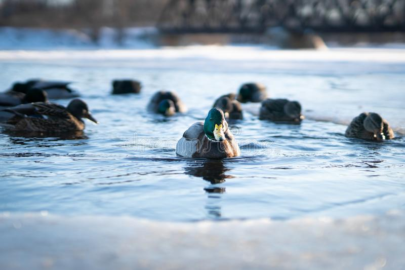 Κοπάδι των αγριοχήνων που κολυμπούν στο κρύο νερό μιας παγωμένης λίμνης ποταμών ή τη λίμνη σε ένα φως χειμερινού ηλιοβασιλέματος στοκ εικόνες με δικαίωμα ελεύθερης χρήσης