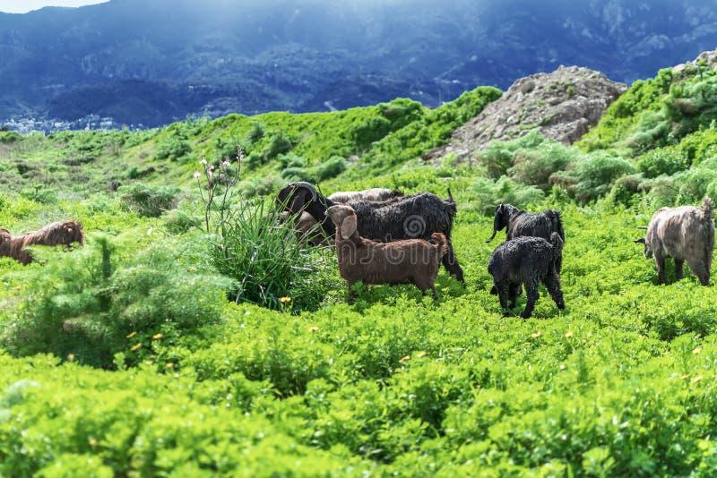 Κοπάδι των αιγών που βόσκουν σε ένα λιβάδι στα βουνά Κατοικίδια ζώα Herbivores που τρώνε τη χλόη στοκ εικόνες